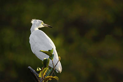 Photograph - Egret by Juergen Roth