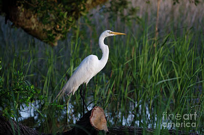 Photograph - Egret - Marsh Fishing by Dale Powell
