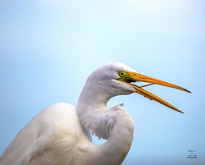 Photograph - Egret Profile by Kevin Banker