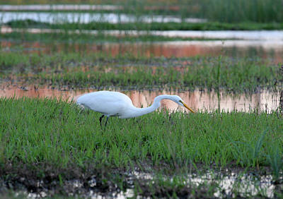 Photograph - Egret Stalking At Sunset by Gacooksey
