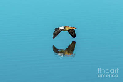 Photograph - Egyptian Goose Flying by Benny Marty