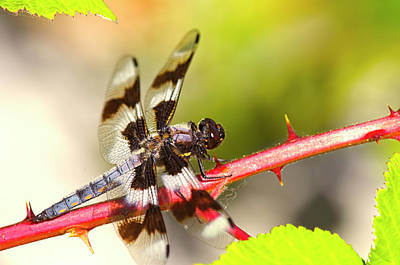 Photograph - Eight-spotted Skimmer On Blackberry Cane by Sharon Talson