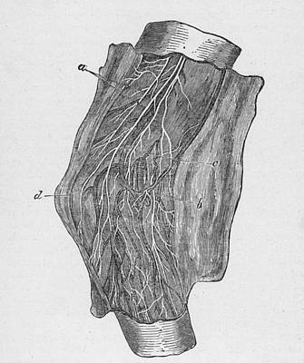 Elbow Diagram Art Print by Hulton Archive