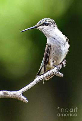 David Bowie - Elegant Female Ruby-throated Hummingbird by Cindy Treger