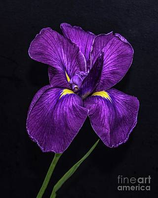 Space Photographs Of The Universe - Elegant Iris by Cindy Treger