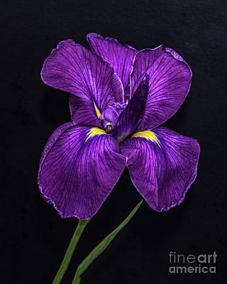 Hollywood Style - Elegant Iris by Cindy Treger