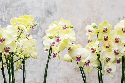 Painting - Elegant Romantic Cream Orchids by Shabby Chic and Vintage Art
