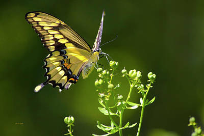 Photograph - Elegant Swallowtail Butterfly by Christina Rollo