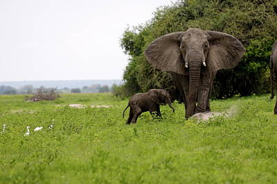 Photograph - Elephant And Newly Born Calf, Chobe by Peter Groenendijk / Robertharding