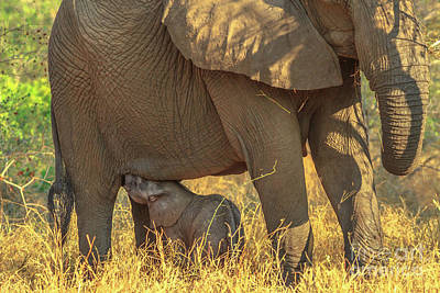 Photograph - Elephant Calf Drinking Milk by Benny Marty
