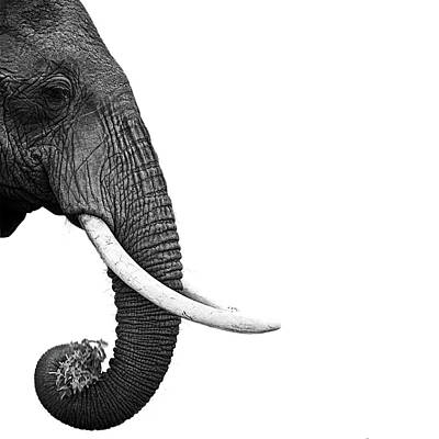 Photograph - Elephant by Daniel Pupius