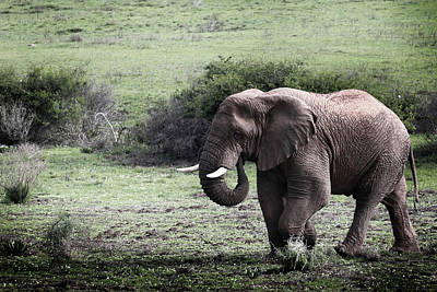 Photograph - Elephant by Images Unlimited