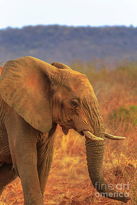 Photograph - Elephant In South Africa by Benny Marty