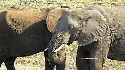 Animals Royalty-Free and Rights-Managed Images - Elephant Pair by Jennifer Wheatley Wolf