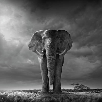 Photograph - Elephant Walking In Grassy Field by Chris Clor