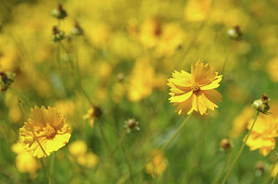 Photograph - Elfin Gold. Coreopsis Flower by Jenny Rainbow