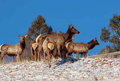 Photograph - Elk Against Blue Sky by Steve Krull