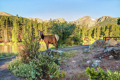 Photograph - Elk At Sprague Lake In Rocky Mountain National Park by Gregory Ballos