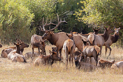 Amy Weiss - Elk Bull Gathers His Harem by Tony Hake