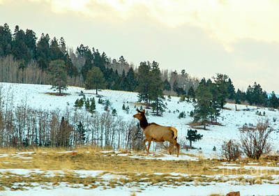 Steven Krull Royalty-Free and Rights-Managed Images - Elk cow on a Winter Morning by Steven Krull