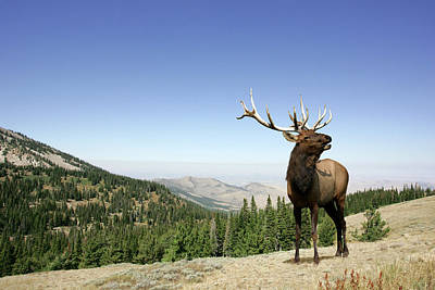 Photograph - Elk by Digical