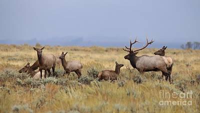 Wall Art - Photograph - Elk Herd by Don Small Jr
