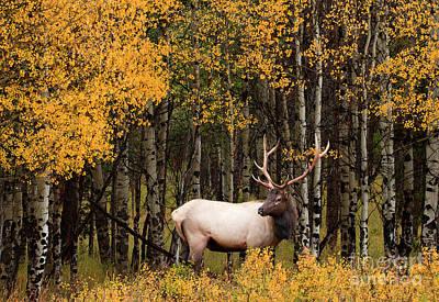 David Bowie - Elk in Aspen by Russell Smith