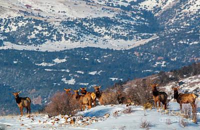 Photograph - Elk In Fresh Snow by Steve Krull