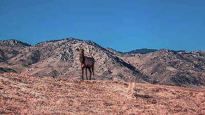 Photograph - Elk On A Hill by Jeanette Fellows