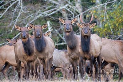 Photograph - Elk Pose by Tim Moore