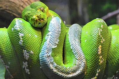 Photograph - Emerald Tree Boa Snake by Lisa Wooten