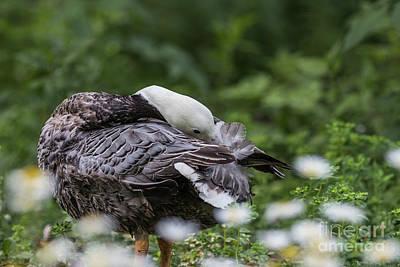 Photograph - Emperor Goose by Eva Lechner