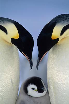 Photograph - Emperor Penguin Aptenodytes Forsteri by Tui De Roy/ Minden Pictures