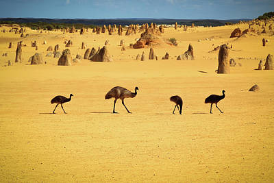 Emus In Nambung National Park Art Print by Photography By Ulrich Hollmann