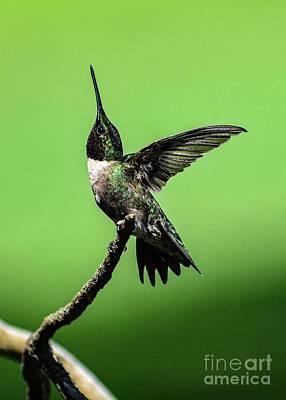 Unicorn Dust - Enchanting Male Ruby-throated Hummingbird by Cindy Treger