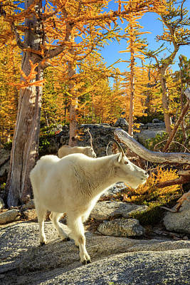 Mountain Royalty-Free and Rights-Managed Images - Enchantments Goats by Johnny Adolphson