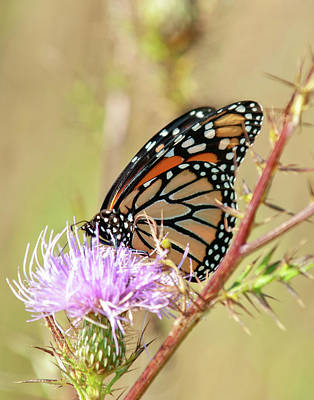 Photograph - End Of Summer Glow Monarch Butterfly by Lara Ellis