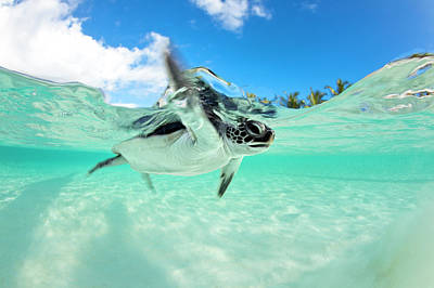 Organism Wall Art - Photograph - Endangered Baby Green Sea Turtle by Michele Westmorland