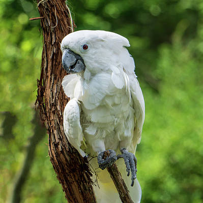 Photograph - Endangered White Cockatoo by Jason Fink