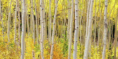 Photograph - Endless Aspens 2x1 by Ryan Moyer