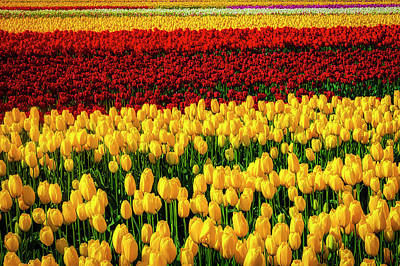 Photograph - Endless Tulip Fields by Garry Gay