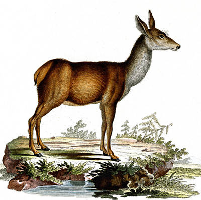 Drawing - Engraving Of A Red Deer  by German School