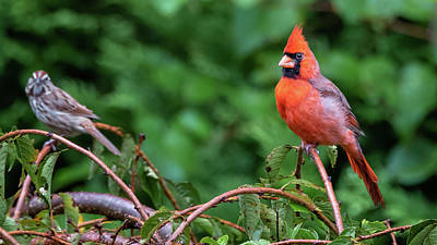 Envy - Northern Cardinal Regal Art Print