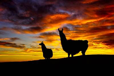 Photograph - Epic Llama Sunrise by Bryan Smith