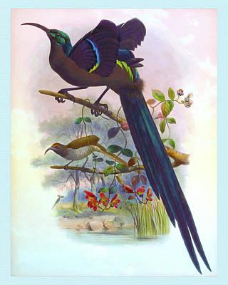 Animals Drawings - Epimachus Speciosus, Great Sickle Bill Bird of Paradise by Joseph Wolf - Joseph Smit