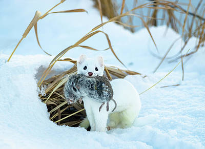 Farmhouse Royalty Free Images - Ermine Royalty-Free Image by Michael Chatt