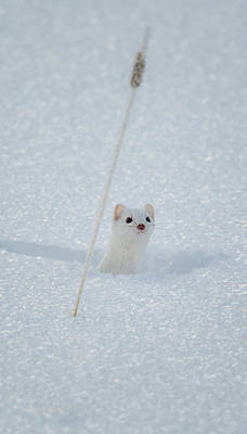Wall Art - Photograph - Ermine Peaking Out From The Snow by Martin Belan