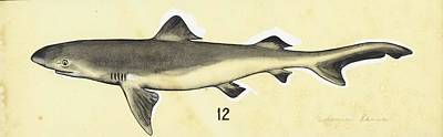 Animals Paintings - Estuary Shark  Eulamia lamia  1966 Estuary shark  also known as Blainville s Dogfish  Eulamia lamia  by Celestial Images