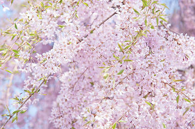 Photograph - Ethereal Prunus Blooms by Jenny Rainbow