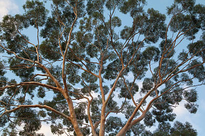 Photograph - Eucalyptus Tree Trunk Canopy, Evening by Eastcott Momatiuk